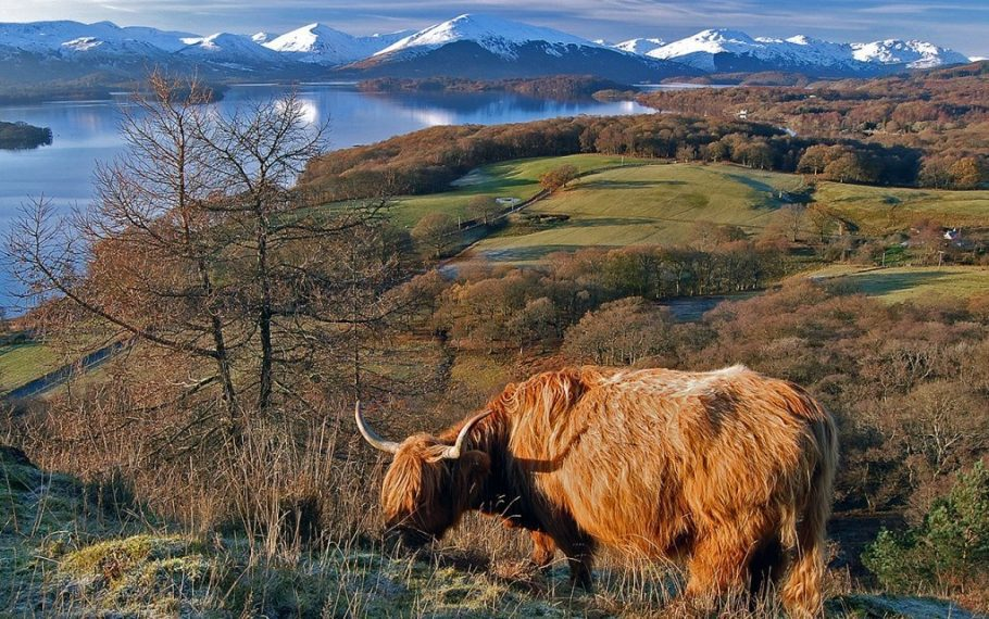 Loch Lomond And Coo
