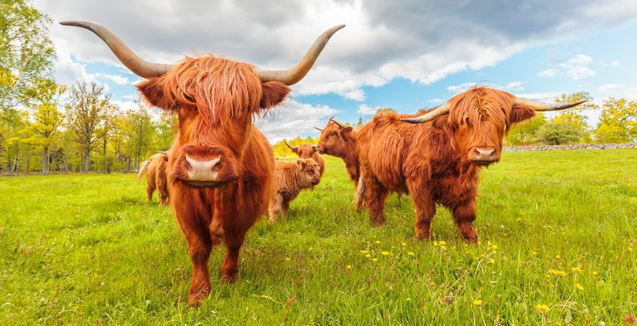 Highland Cows Shutterstock Scaled Aspect Ratio X